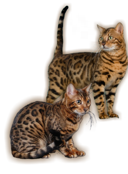 Bengal kittens for sale johannesburg